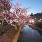 柿川夜桜閑話 2 癒やしの光を提供する人たち