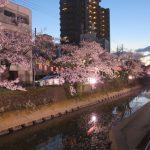 柿川夜桜閑話 1 サクラ祭り開催中12日まで